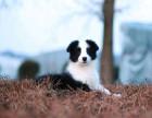 CKU认证犬舍 边境牧羊犬 保障健康 终生售后