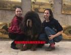 买2019藏獒原生藏獒纯种藏獒到獒响中国藏獒基地