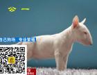 哪里有卖牛头梗牛头梗多少钱牛头梗图片牛头梗幼犬