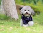大连哪里出售纯种泰迪犬 多少钱一只