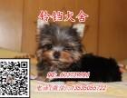 佛山约克夏犬价格 佛山在哪里有卖纯种约克夏犬 包健康签协议