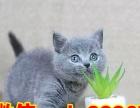 常年出售加菲猫,异短,美短,波斯猫,英短蓝