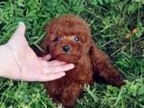 郑州纯种泰迪多少钱 在郑州什么地方能买到纯种泰迪犬