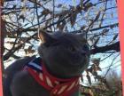 可爱的英国短毛猫找好心人领养