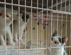 云系1岁成母渐层出售3500元另有其他成猫幼猫出售
