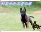 健康精品血统优质小马犬现在多少钱,哪里出售马犬幼犬