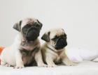 出售3个月的巴哥犬(公母均有)包犬瘟细小-签协议