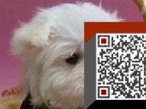 马尔济斯犬,国外引进高品质种犬,土豪你值得拥有