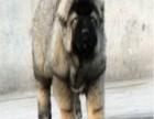 高加索多少钱 高加索价格 高加索幼犬价格