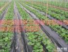 草莓苗预定抗病新品种耐运输2008太空苗果大早熟