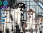 高品质纯血统双蓝眼三火哈士奇幼犬纯种健康雪橇犬