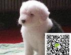 i赛级双纯血统白头通背古牧幼犬销售免疫齐全包