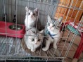 出售美国短毛猫