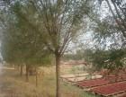 种植50公分国槐树 价格优惠