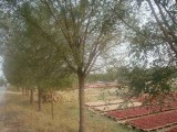吉林种出售30公分合欢树齐全