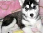 纯种西伯利亚哈士奇幼犬双蓝眼三把火哈士奇雪橇犬