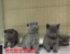 南充酷宠宠物店现货长期出售蓝猫宝宝幼猫现货