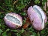 八月瓜种子 九月黄种子 野香蕉种子 八月炸 三叶木通 牛卵蛋