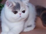 广州哪里有卖加菲猫幼崽哪里卖的加菲猫更健康