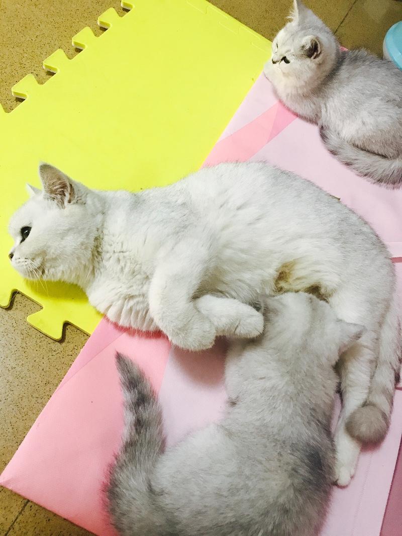 自家养的渐层猫低价出售,非猫舍
