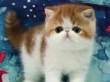 上海南汇纯白加菲猫多少钱一只