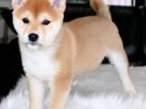 佛山 高品质的柴犬出售了 疫苗做完 质量三包