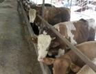 育肥牛、肉牛养殖出售