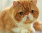 纯种加菲猫纯种加菲猫价格多少