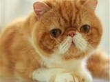 北京東城純種雙血統加菲貓怎么賣