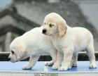 正规犬舍出售精品拉布拉多幼犬包健康签协议送用品