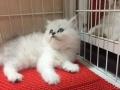 纯种金吉拉猫宝宝出售 个性温顺