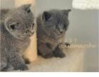 家庭猫舍加菲猫可爱吧