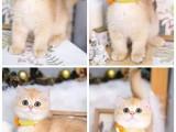 安阳斯芬克斯无毛猫出售 纯种幼猫