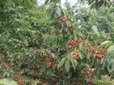 全品種優質大櫻桃樹苗