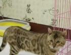 家养孟加拉豹猫幼猫