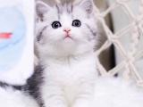 合肥纯种美短猫舍直销美短加白美短起司加白幼猫