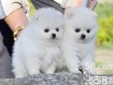 广州哪里有博美犬卖 阿拉斯加萨摩泰迪金毛比熊松狮多少钱
