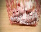 家养4个月左右黄白色萌猫转让