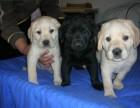 重庆出售拉布拉多幼犬嘴宽骨量大性格温和健康保证