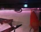 25公分完美财神鹦鹉