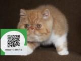 柳州在哪里卖健康纯种宠物猫 柳州哪里出售加菲猫