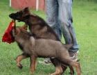 狗场里的牧羊犬能不能养活 价格贵不贵
