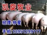 梅山太湖母猪价格网━凯旋牧业提供纯种猪━