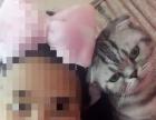 自家养折耳猫美短起司猫三猫宝 二个月大