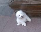 西安纯种大白熊犬价格 西安哪里能买到纯种大白熊