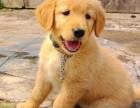 经典美系金毛犬 **大头金毛幼犬大头大骨架金毛