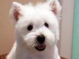纯种家养西高地白梗幼犬 传染病包退换 可上门签协议