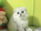 长期出售蓝白蓝猫美短加白弟弟妹妹都有