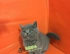 《蓝猫》宠物猫英国短毛猫英短蓝猫折耳纯种美短