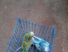急转养鸟设备及虎皮,玄风鹦鹉